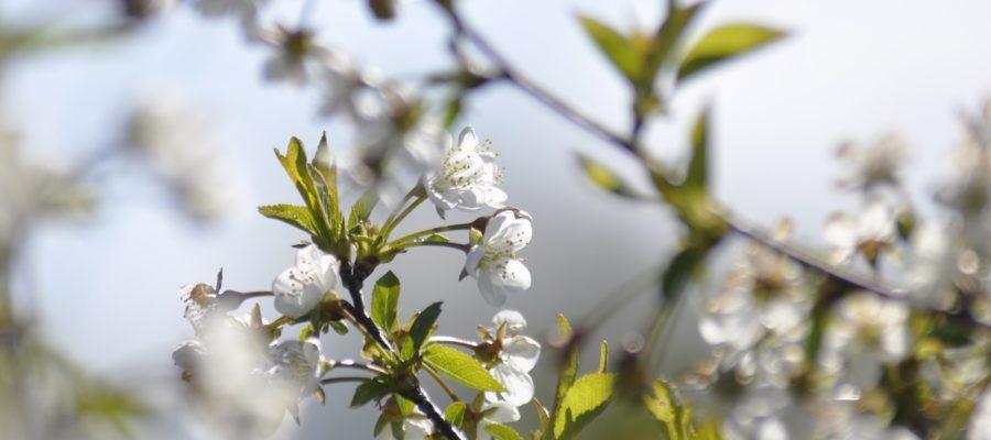 Wiosna Jab%C%o%C% Kwiaty Tree Garden  - u_arwhhsgp / Pixabay