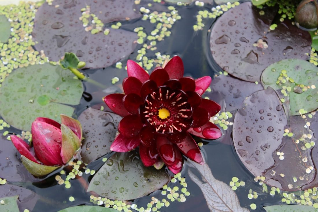 Water Lily Rose Pond Nature Plant  - henfling / Pixabay