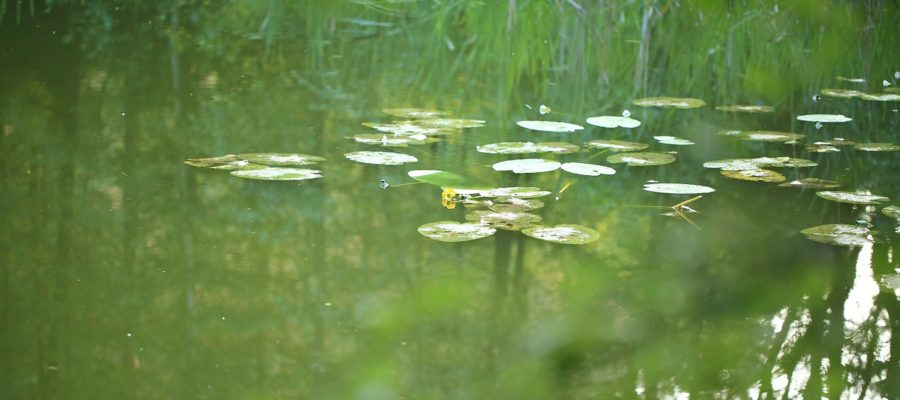 Water Water Lily Pond Nature  - schauhi / Pixabay